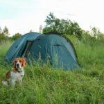 Бигль у палатки