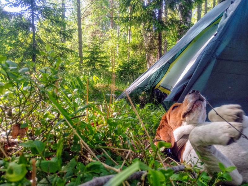 Бигль в лесу у палатки