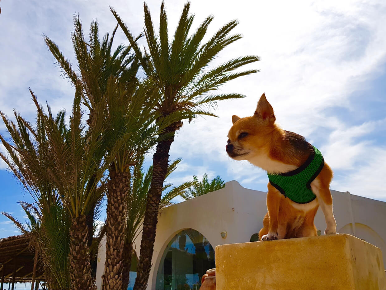 Перелет с собакой на море в Тунис. Африканское путешествие чихуахуа Малины.