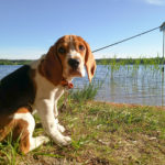 Бигль на озере Снетковское