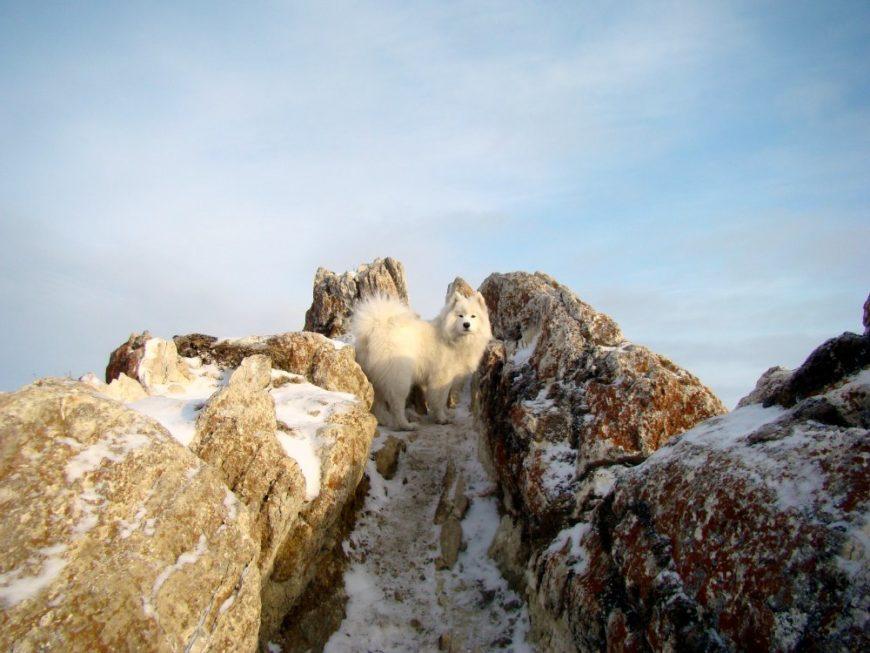 Собака Самоед на острове Ольхон (озеро Байкал)
