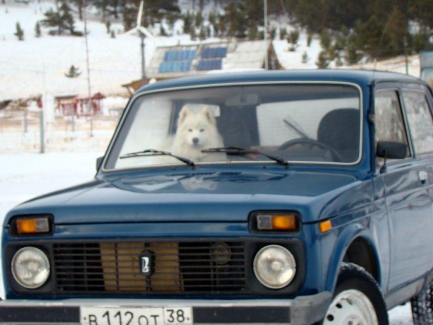 собака Самоед в машине
