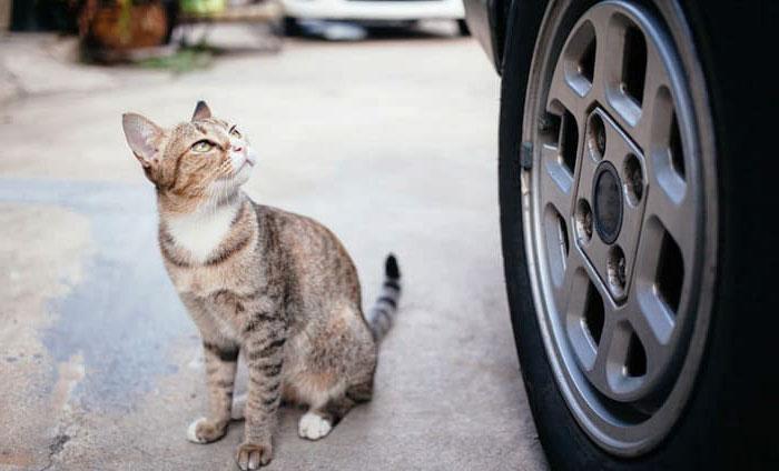 С кошкой на машине