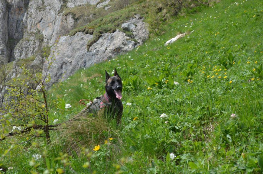 Собаки и рододенроны на Большом Тхаче (Адыгея)