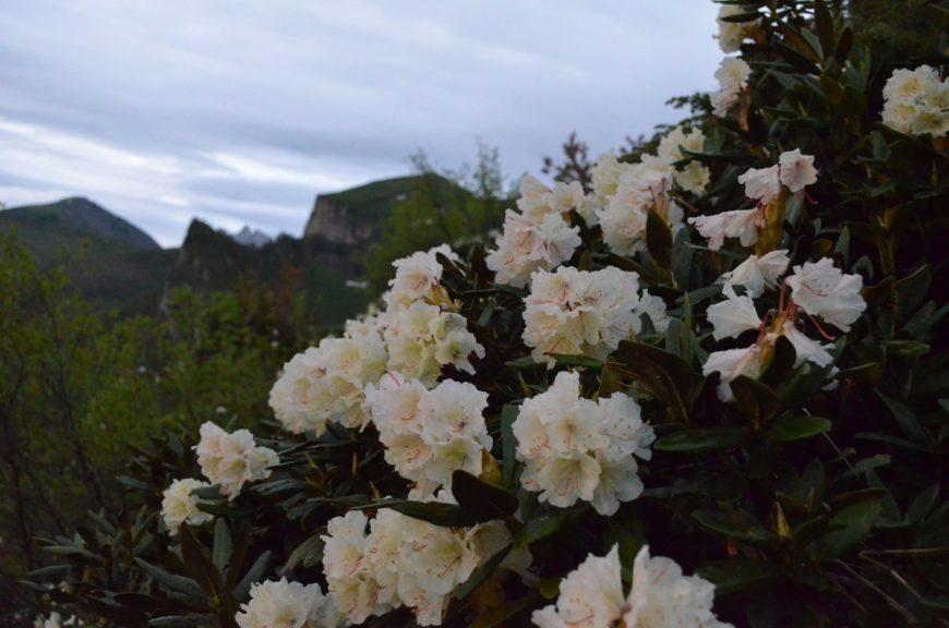 Рододенроны на Большом Тхаче (Адыгея)