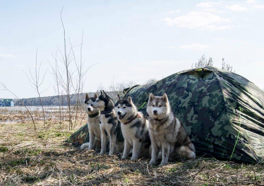 Собаки Хаски у палатки