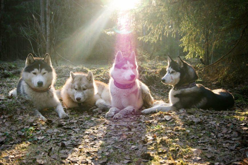 Собаки Хаски в лесу