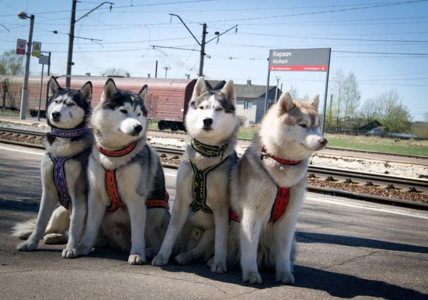 Собаки хаски на перроне (платформе) Киржач