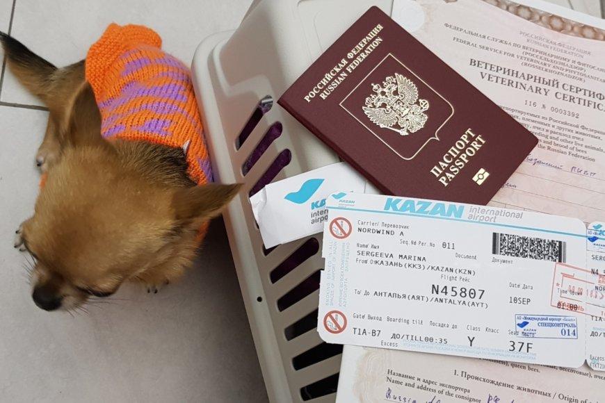 Подготовка чихуахуа Малины к полету на самолете в Турцию