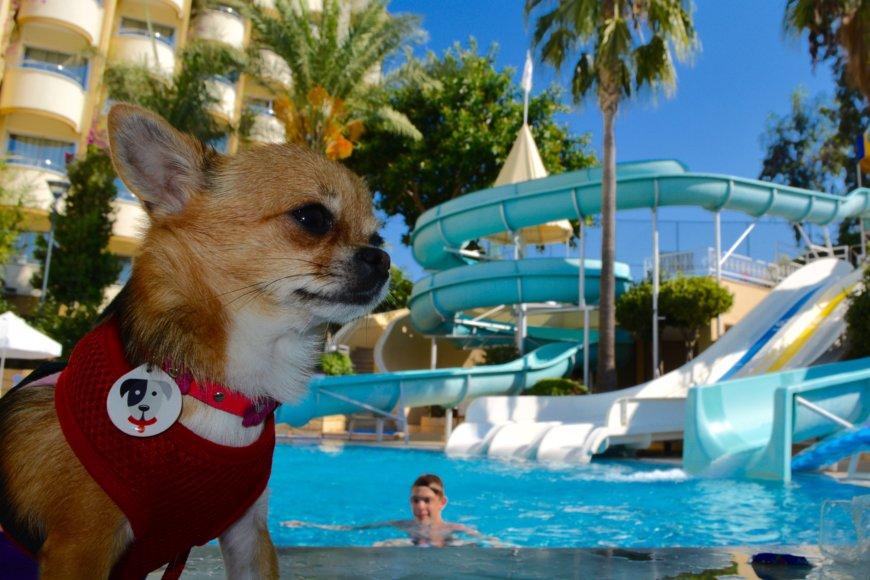 Собака чихуахуа в отеле Турции