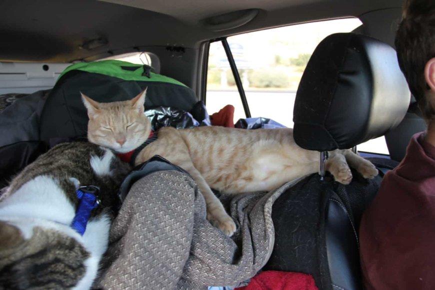 Поездка кошки в машине