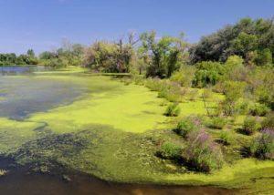 Как защитить собаку от отравления сине-зелеными водорослями