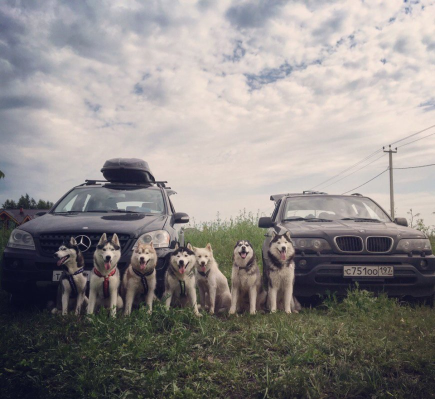 Собаки Хаски на машинах к морю