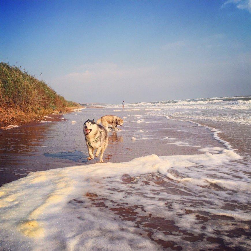 Собаки Хаски бегают по пляжу. Волны, море.