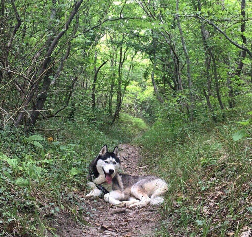 Собака Хаски в лесу у моря