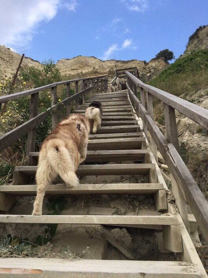 Собаки Хаски поднимаются по лестнице