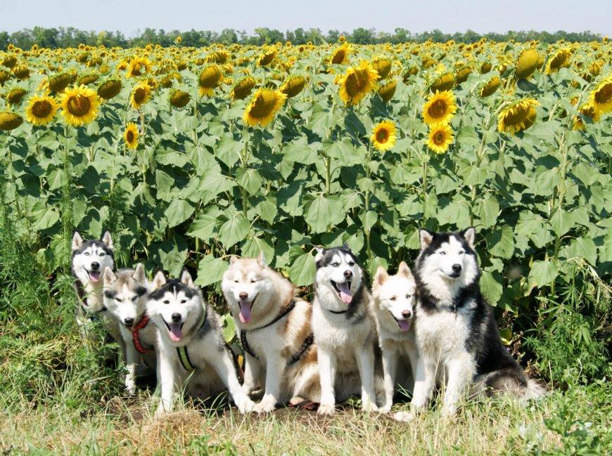 Собаки Хаски в подсолнухах
