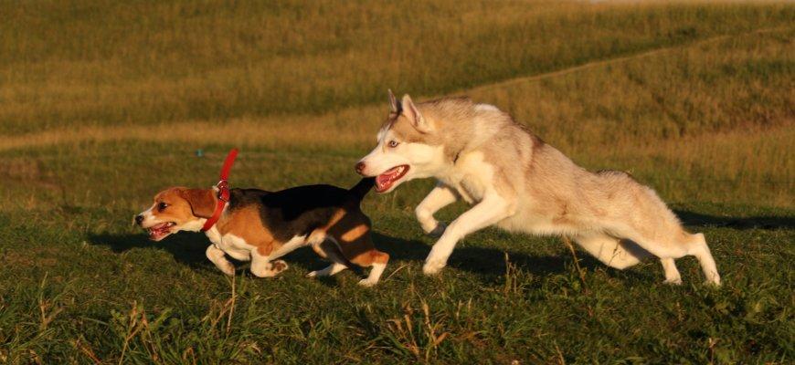 LureClub — бега за механическим зайцем (курсинг) на Заневское городское поселение (Специально для собак)