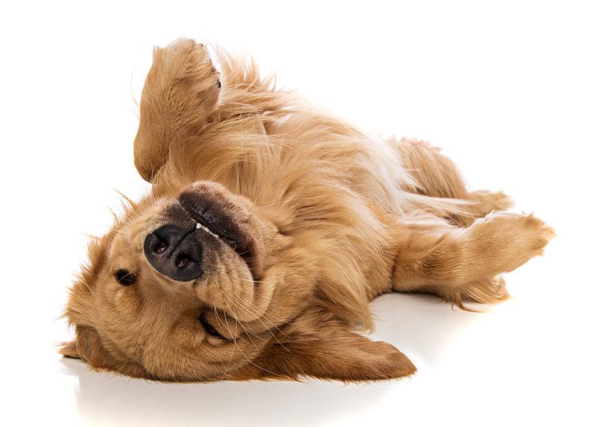 Собака спит на спине