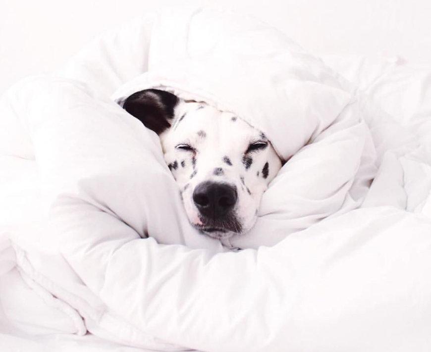 Собака спит укутавшись в одеяло