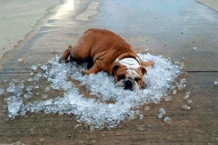 Охлаждение собаки в жура. Жилеты, попоны